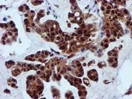 SPR Antibody in Immunohistochemistry (Paraffin) (IHC (P))