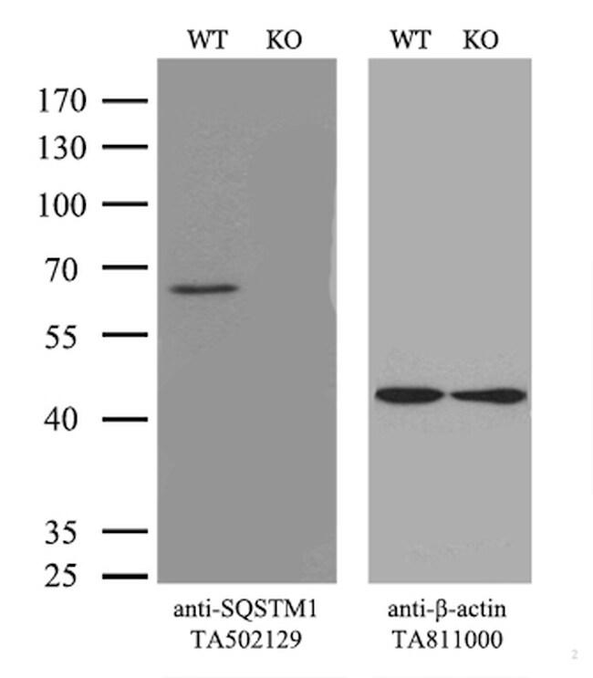 SQSTM1 Antibody in Knockout