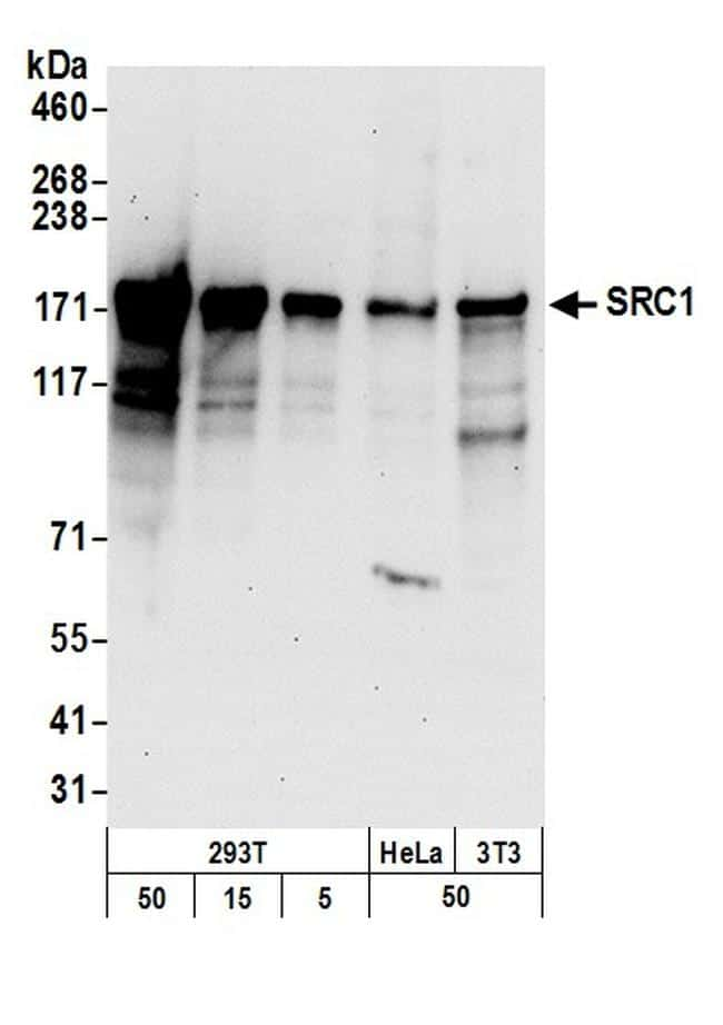 SRC1 Antibody in Western Blot (WB)