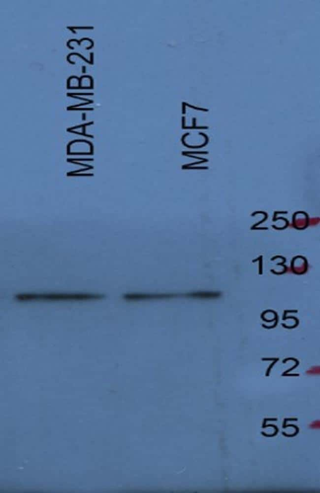 SREBP1 Antibody in Western Blot (WB)
