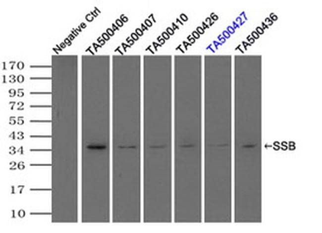 SSB Antibody in Immunoprecipitation (IP)