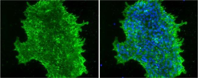 SSEA4 Antibody in Immunofluorescence (IF)