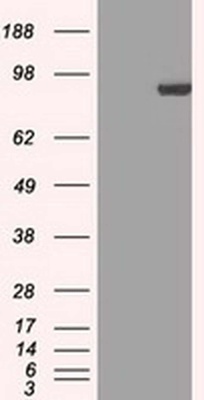 STAT1 Antibody in Western Blot (WB)