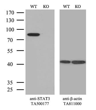 STAT3 Antibody in Knockout