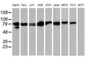 STAT5A Antibody in Western Blot (WB)