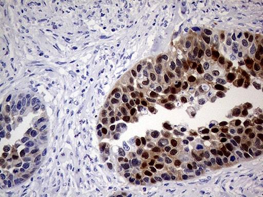 SYP Antibody in Immunohistochemistry (Paraffin) (IHC (P))