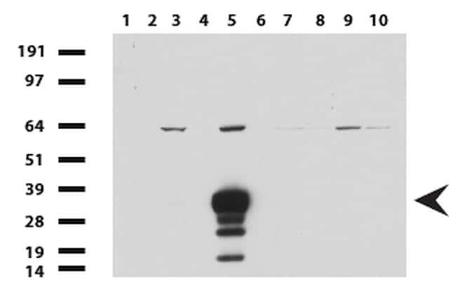 SYP Antibody in Western Blot (WB)