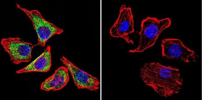 Sodium/Calcium Exchanger Antibody in Immunofluorescence (IF)