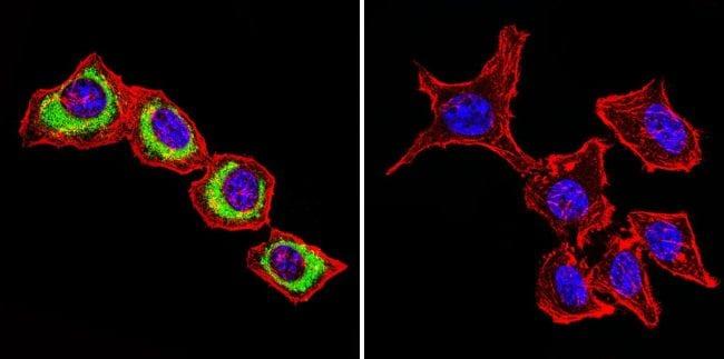 ATP1B1 Antibody in Immunofluorescence (IF)