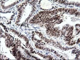 Sox17 Antibody in Immunohistochemistry (Paraffin) (IHC (P))