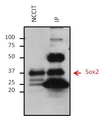 SOX2 Antibody in Immunoprecipitation (IP)