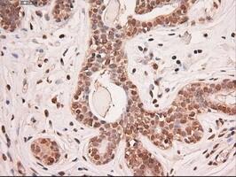 Stat5a Antibody in Immunohistochemistry (Paraffin) (IHC (P))