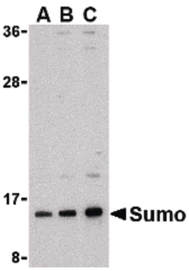 SUMO1 Antibody in Western Blot (WB)