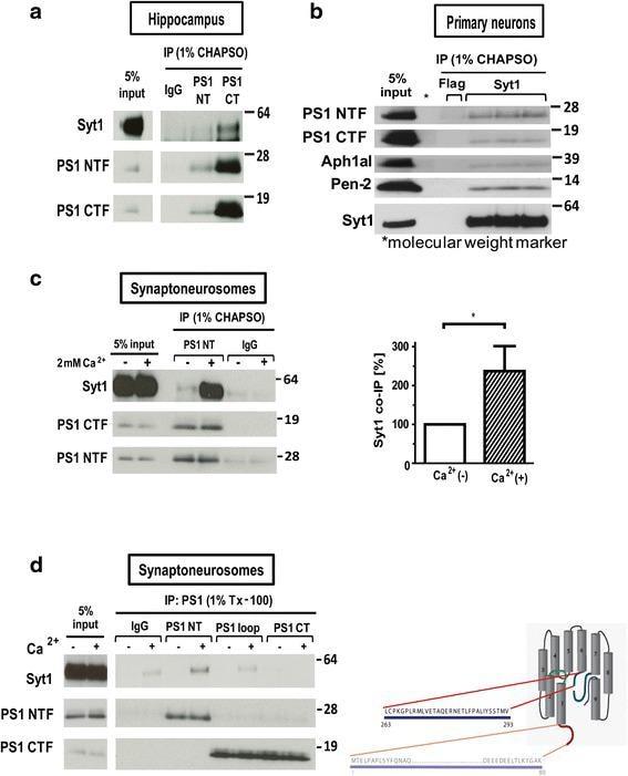 Synaptotagmin 1 Antibody
