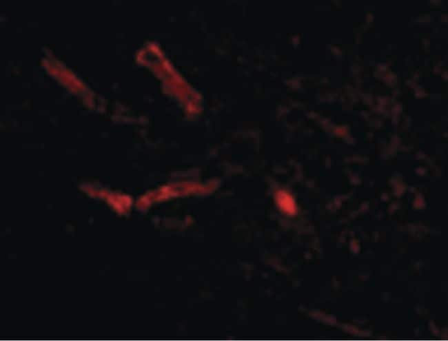 Syntaphilin Antibody in Immunofluorescence (IF)