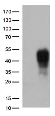 CD137 (TNFRSF9) Antibody in Western Blot (WB)