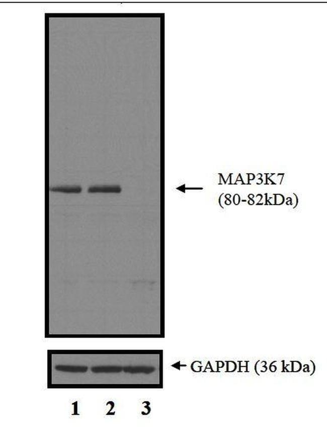 TAK1 Antibody in Western Blot (WB)