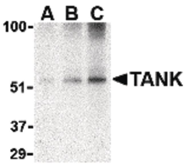 TANK Antibody in Western Blot (WB)