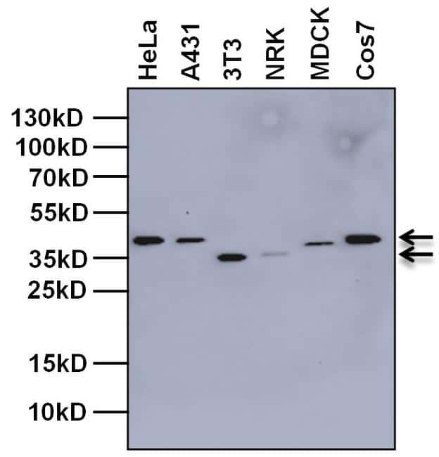 Tbp Antibody Monoclonal 1tbp18