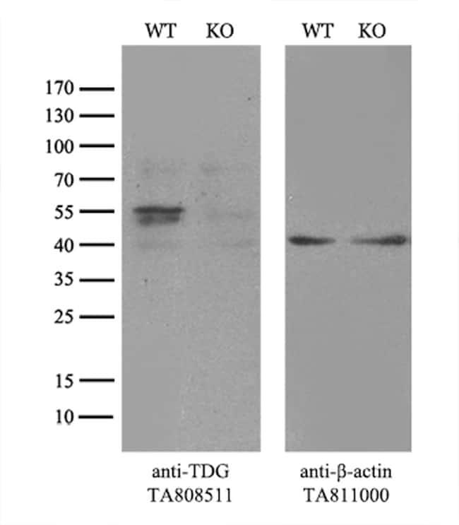 TDG Antibody in Knockout