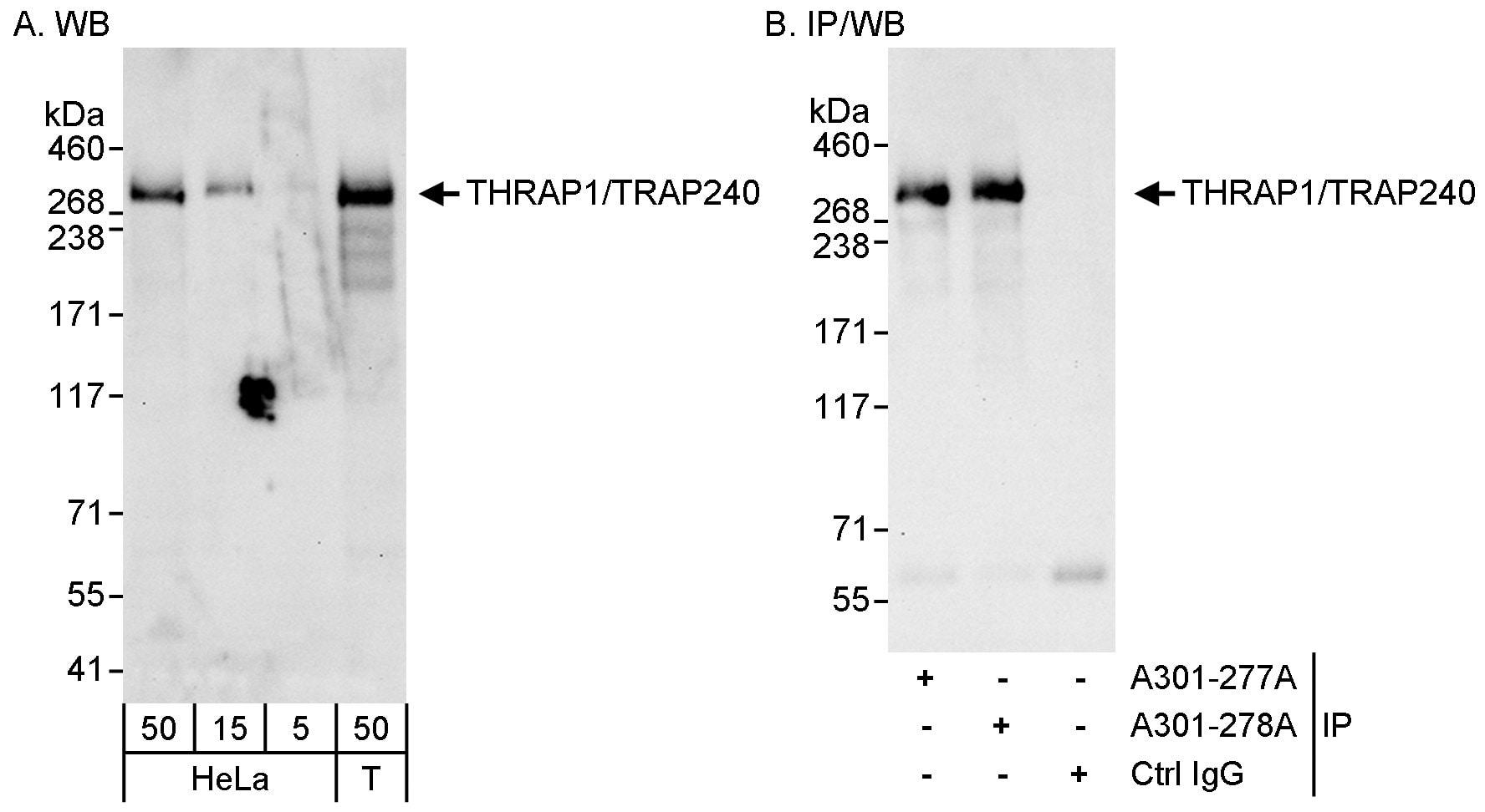 THRAP1/TRAP240 Antibody in Western Blot (WB)