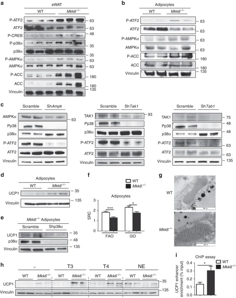 THRA/THRB Antibody
