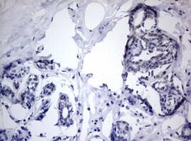TIA1 Antibody in Immunohistochemistry (Paraffin) (IHC (P))