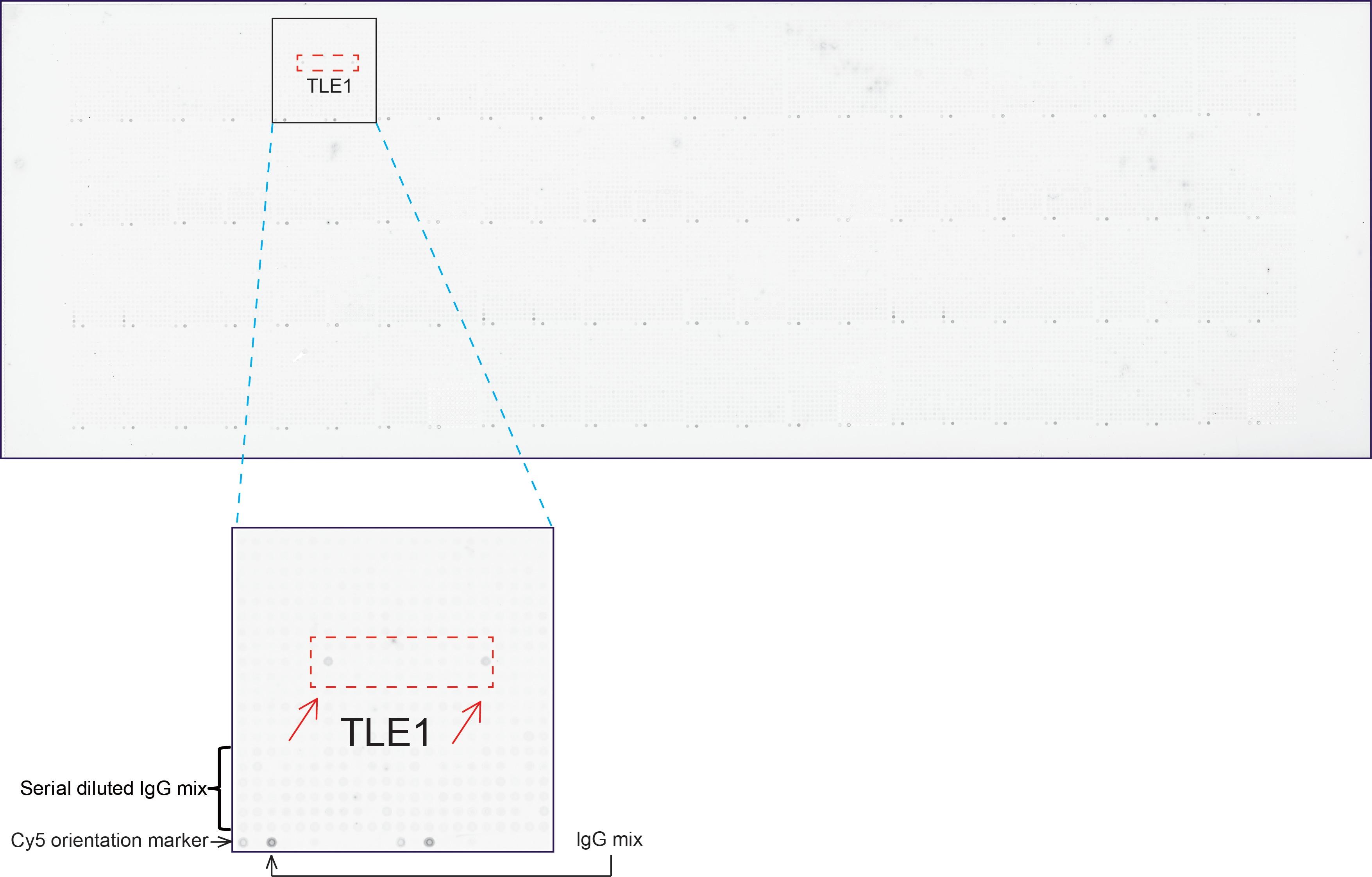 TLE1 Antibody in Peptide array (ARRAY)