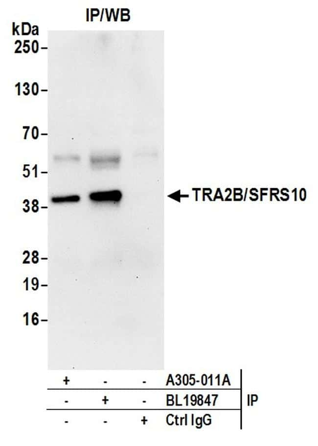 TRA2B/SFRS10 Antibody in Western Blot (WB)
