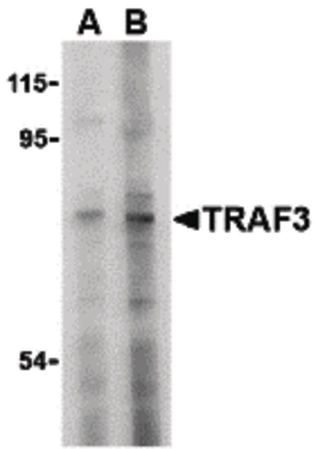 TRAF3 Antibody in Western Blot (WB)