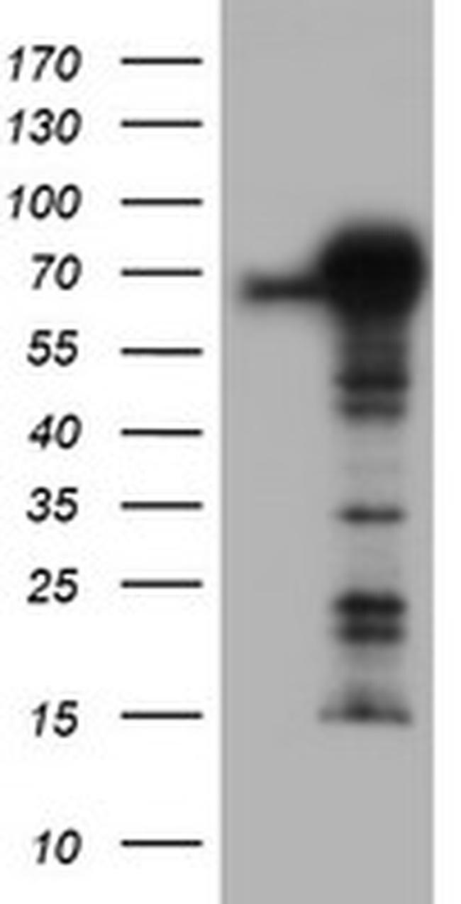 TRIM9 Antibody in Western Blot (WB)