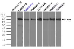 TYRO3 Antibody in Immunoprecipitation (IP)