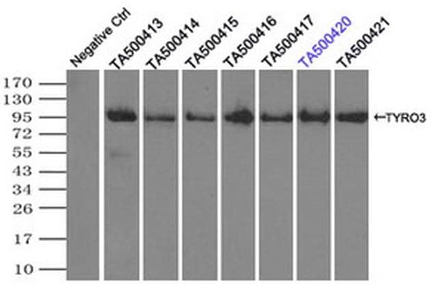 TYRO3 Antibody in Immunoprecipitation (IP)