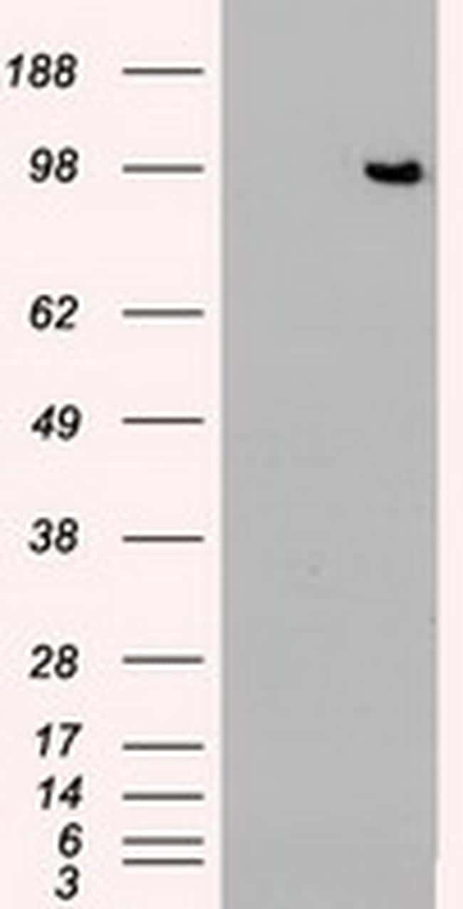 TYRO3 Antibody in Western Blot (WB)