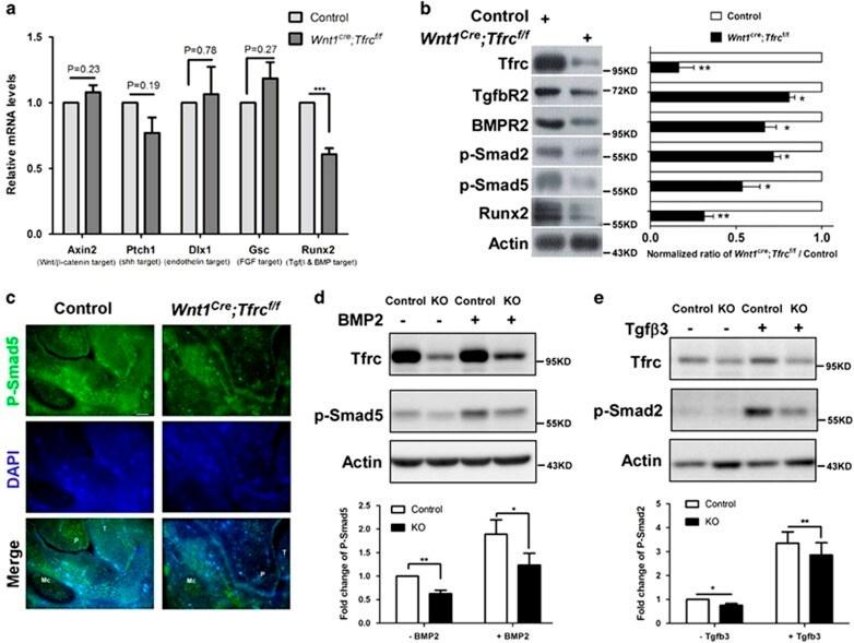 Transferrin Receptor Antibody