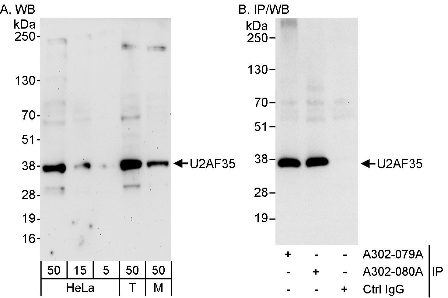 U2AF35 Antibody in Western Blot (WB)
