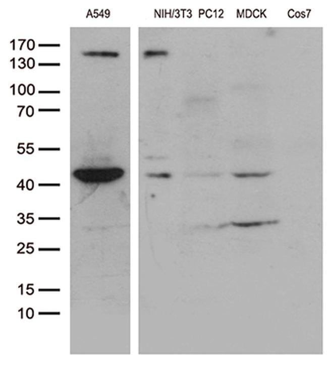 UBA3 Antibody in Western Blot (WB)