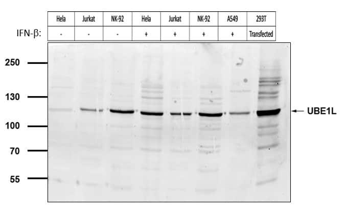 UBE1L Antibody in Western Blot (WB)