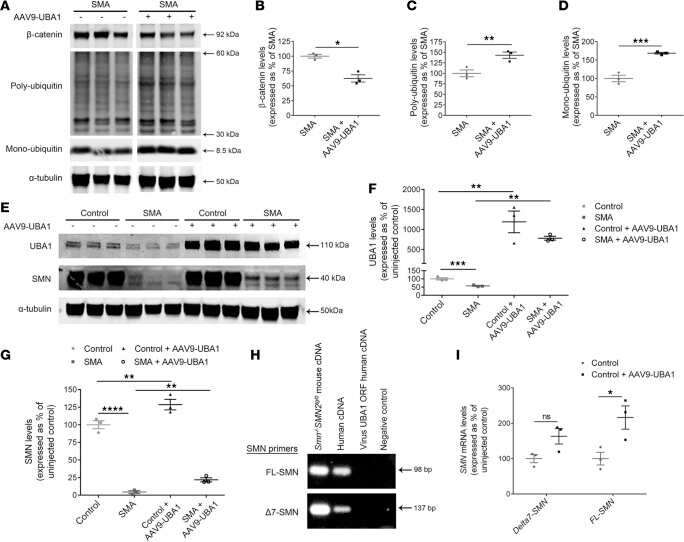 UBE1 Isoform A/B Antibody