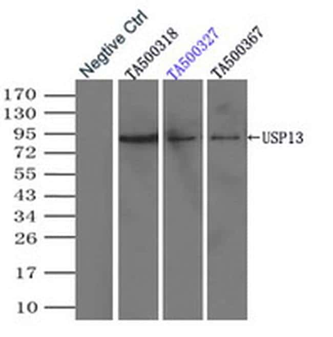 USP13 Antibody in Immunoprecipitation (IP)