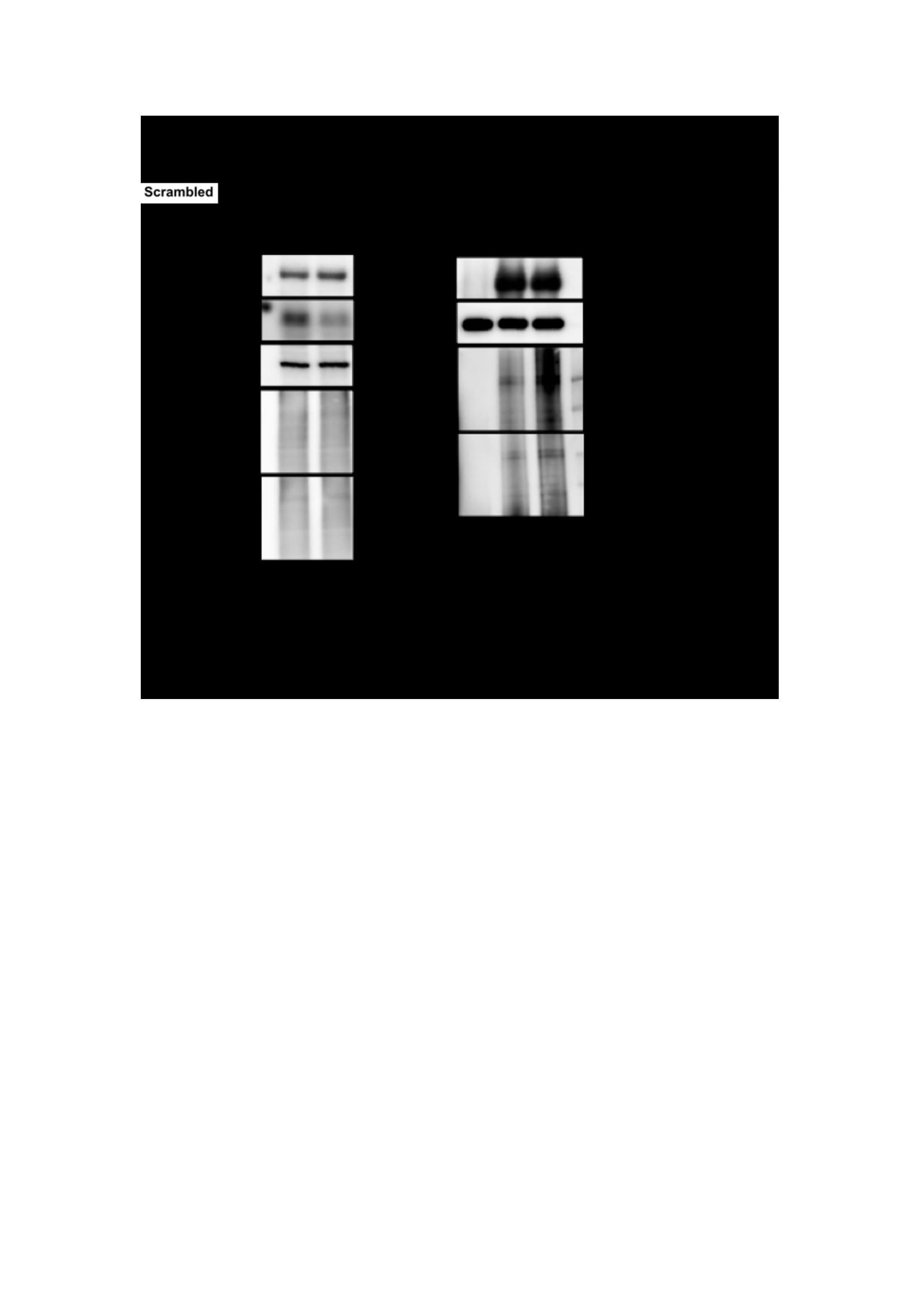 USP17L2 Antibody