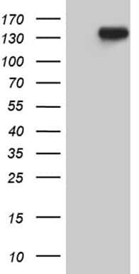 USP40 Antibody in Western Blot (WB)