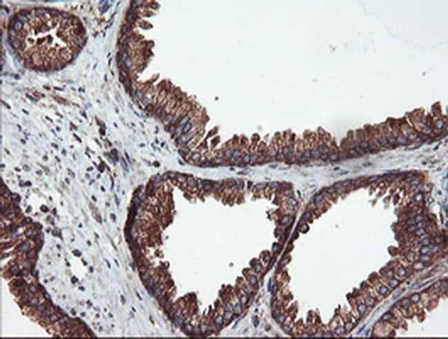 USP9X Antibody in Immunohistochemistry (Paraffin) (IHC (P))