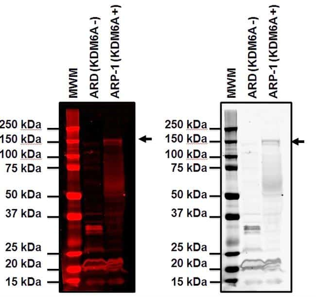 KDM6A Antibody in Western Blot (WB)