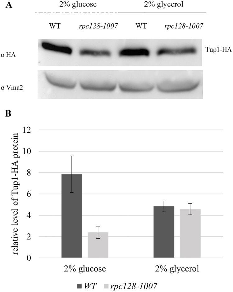 V-ATPase 60 kDa subunit Antibody