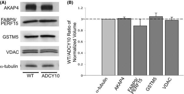 VDAC Antibody