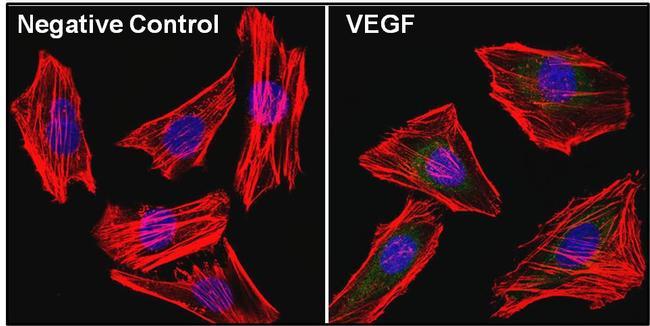 VEGF Antibody in Immunofluorescence (IF)