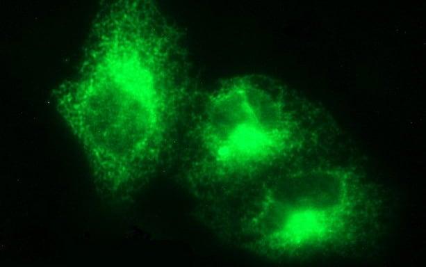 VEGFB Antibody in Immunofluorescence (IF)