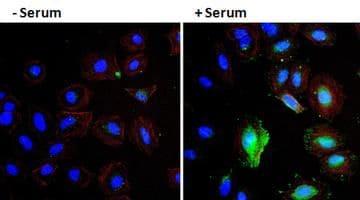 VEGF Antibody in Immunocytochemistry (ICC/IF)