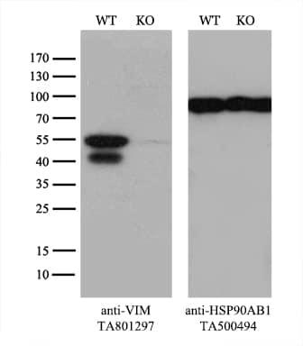 VIM Antibody in Knockout
